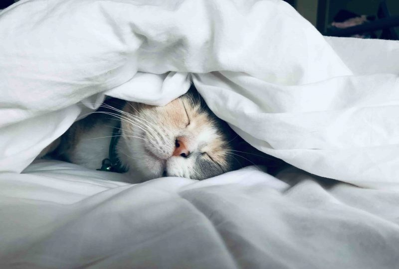 A cat snuggled under a duvet, sleeping.