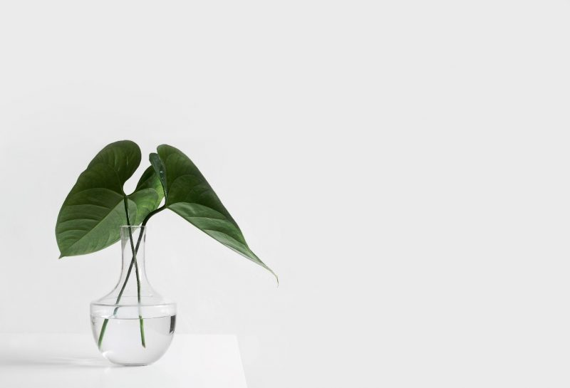 Two plant leaves sitting in a vase of water on a table
